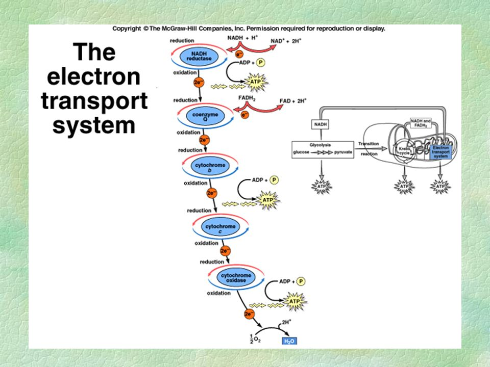 The Electron Transport System