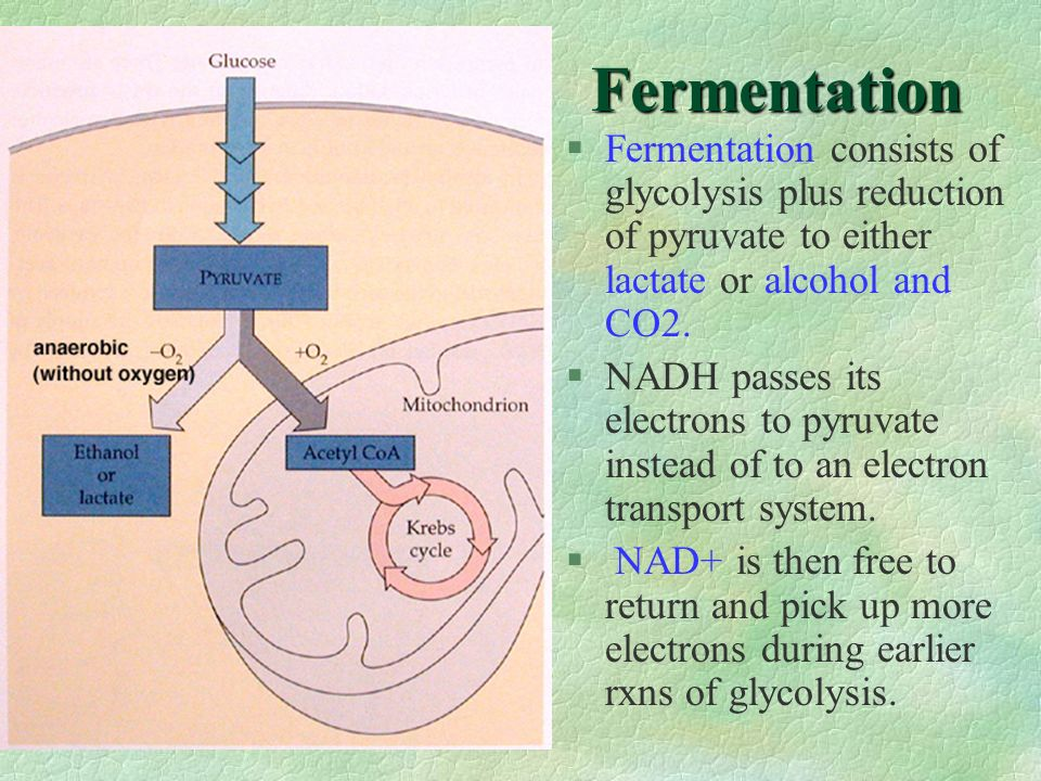 Fermentation Fermentation consists of glycolysis plus reduction of pyruvate to either lactate or alcohol and CO2.