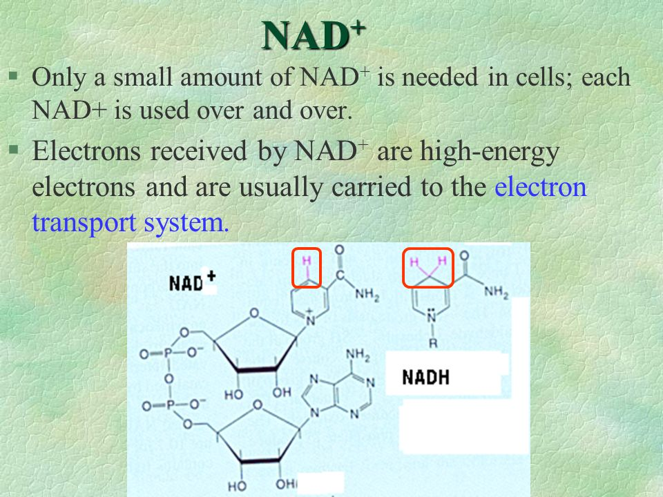 NAD+ Only a small amount of NAD+ is needed in cells; each NAD+ is used over and over.