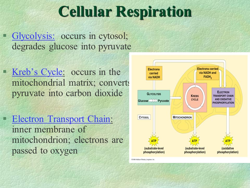 Cellular Respiration Glycolysis: occurs in cytosol; degrades glucose into pyruvate.
