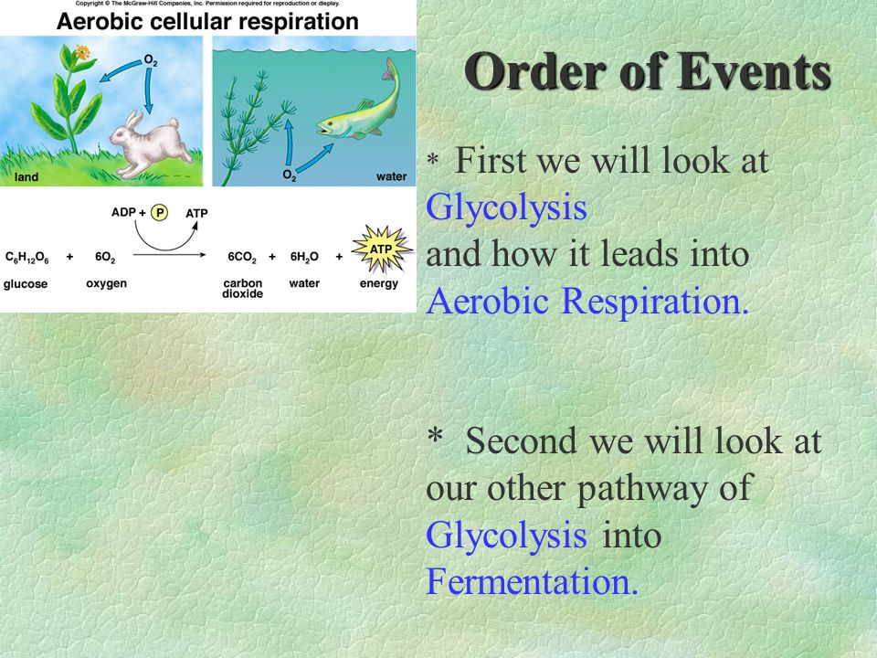 Order of Events and how it leads into Aerobic Respiration.