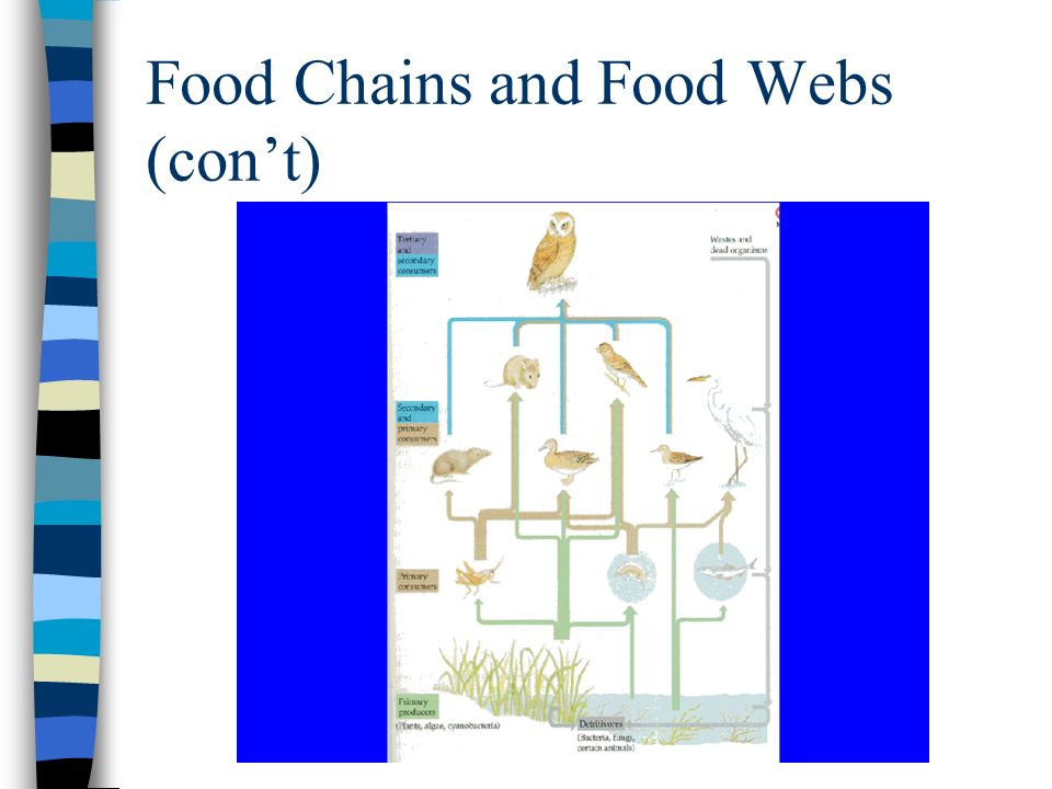 Food Chains and Food Webs (con't)