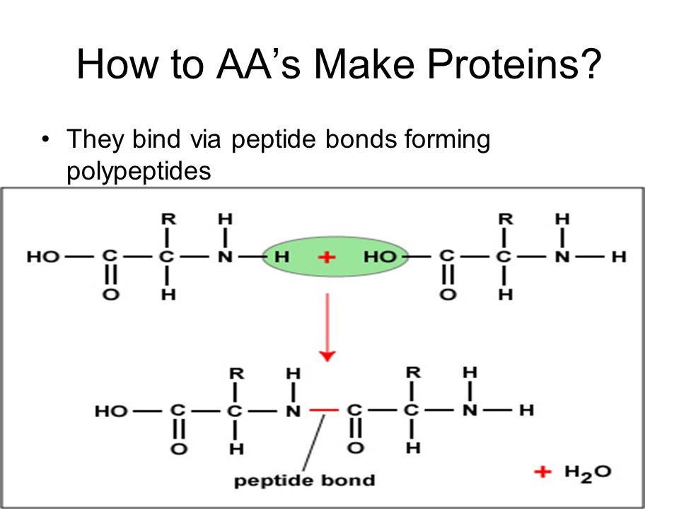 How to AA's Make Proteins