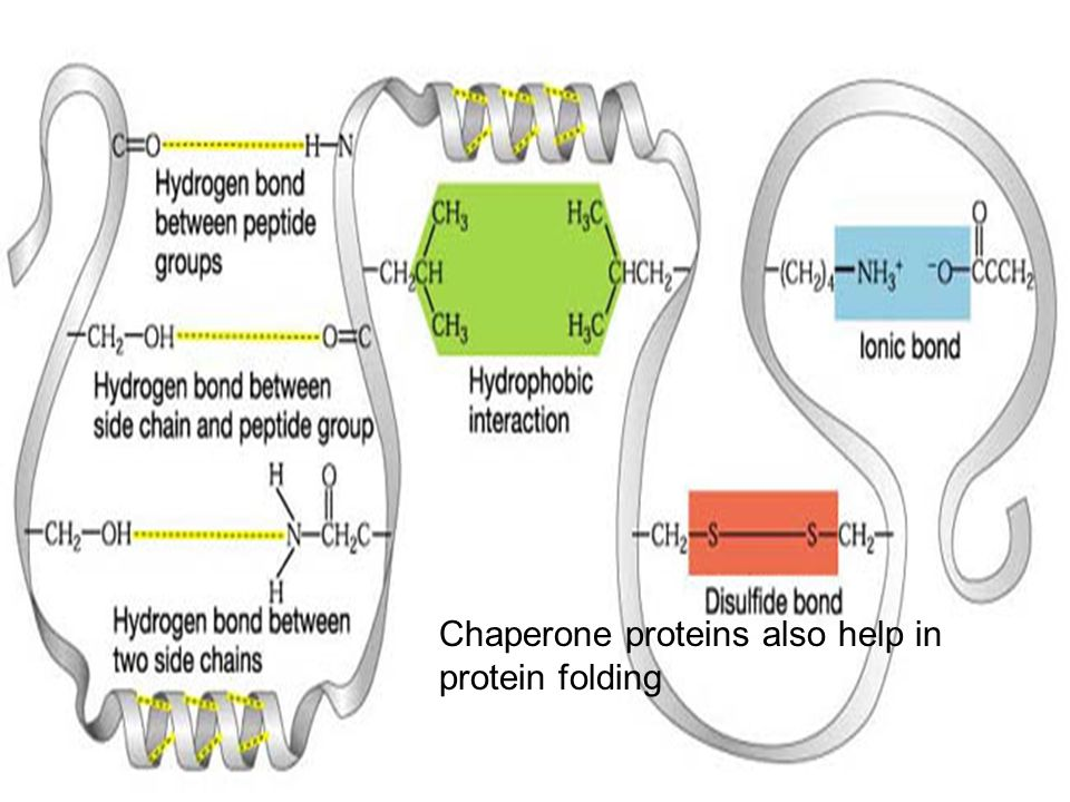Chaperone proteins also help in protein folding