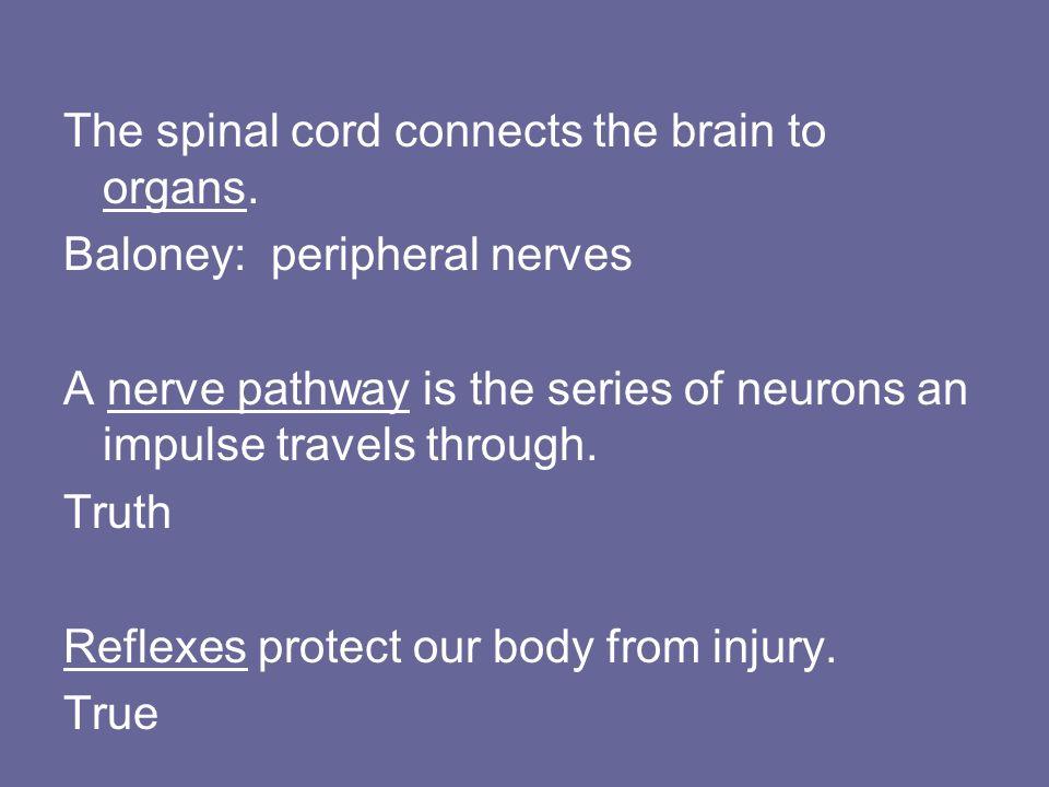 The spinal cord connects the brain to organs.