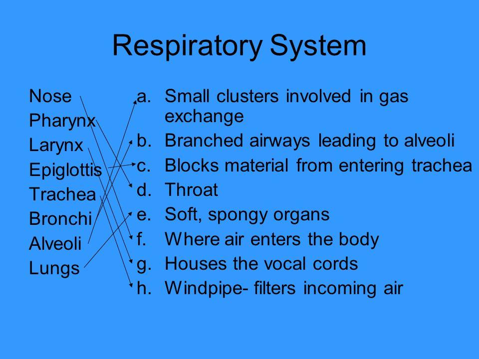 Respiratory System Nose Pharynx Larynx Epiglottis Trachea Bronchi