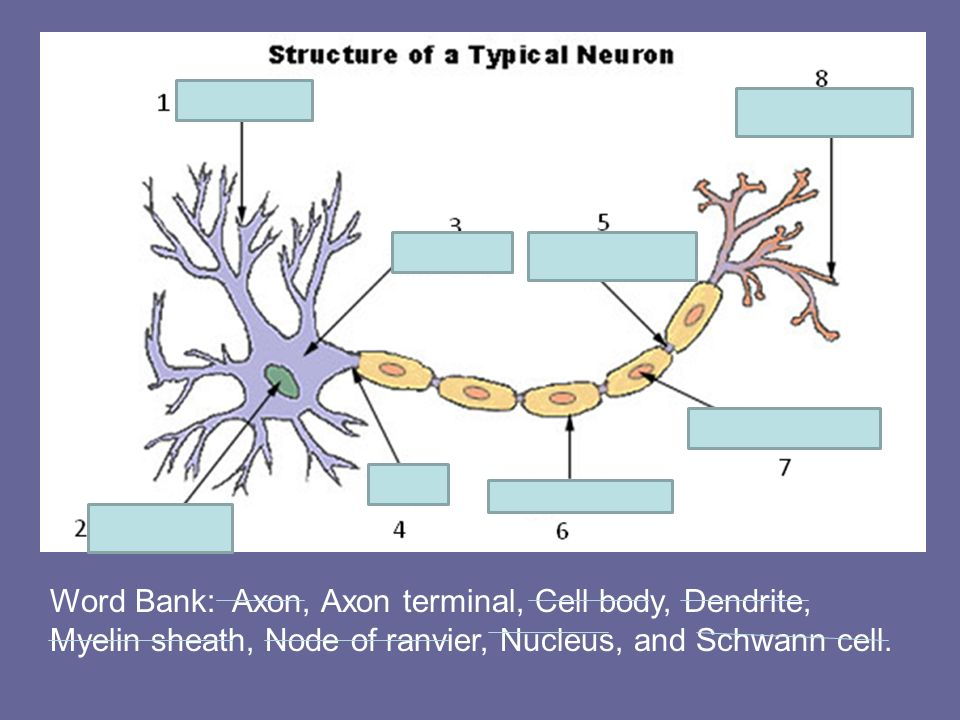 Word Bank: Axon, Axon terminal, Cell body, Dendrite, Myelin sheath, Node of ranvier, Nucleus, and Schwann cell.