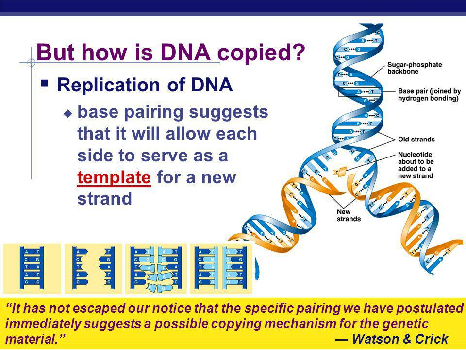 But how is DNA copied Replication of DNA