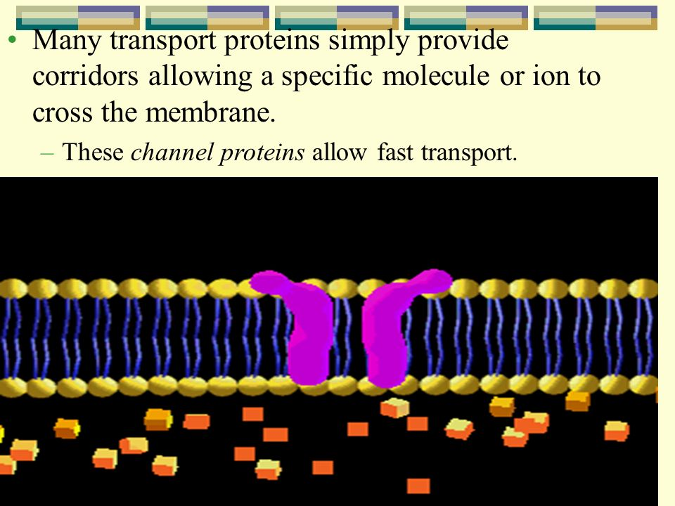 Many transport proteins simply provide corridors allowing a specific molecule or ion to cross the membrane.