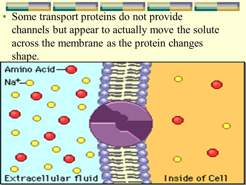 Some transport proteins do not provide channels but appear to actually move the solute across the membrane as the protein changes shape.