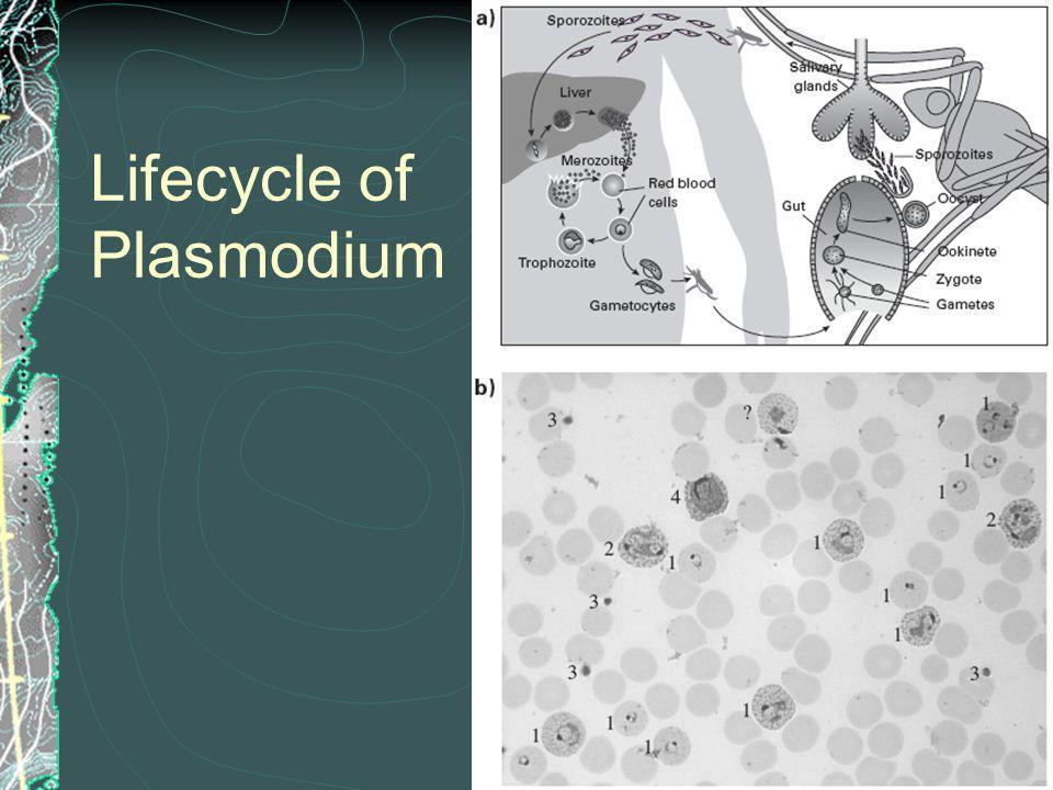 Lifecycle of Plasmodium
