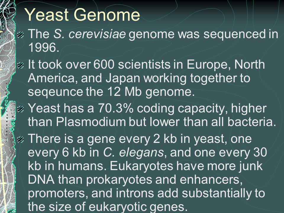 Yeast Genome The S. cerevisiae genome was sequenced in 1996.