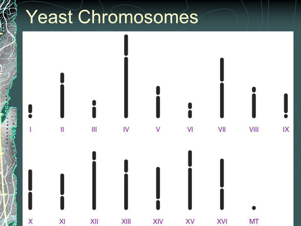 Yeast Chromosomes Figure 2.26 S. cerevisiae ideogram.