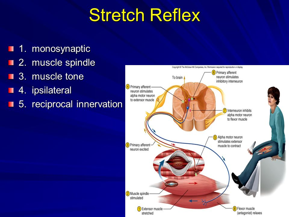 Stretch Reflex 1. monosynaptic 2. muscle spindle 3. muscle tone