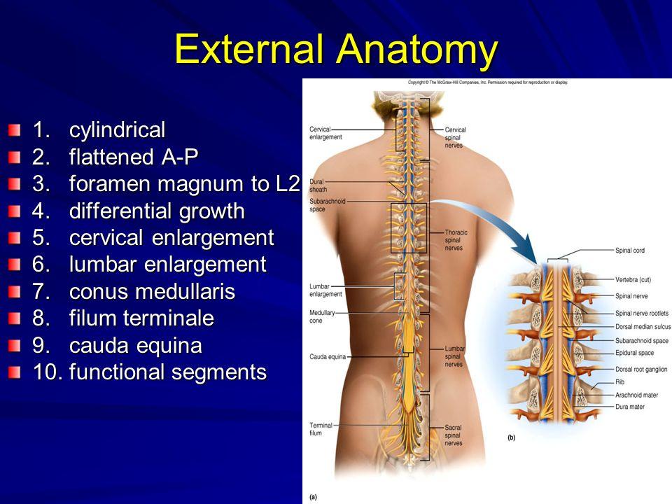 External Anatomy 1. cylindrical 2. flattened A-P