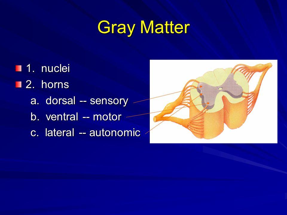 Gray Matter 1. nuclei 2. horns a. dorsal -- sensory