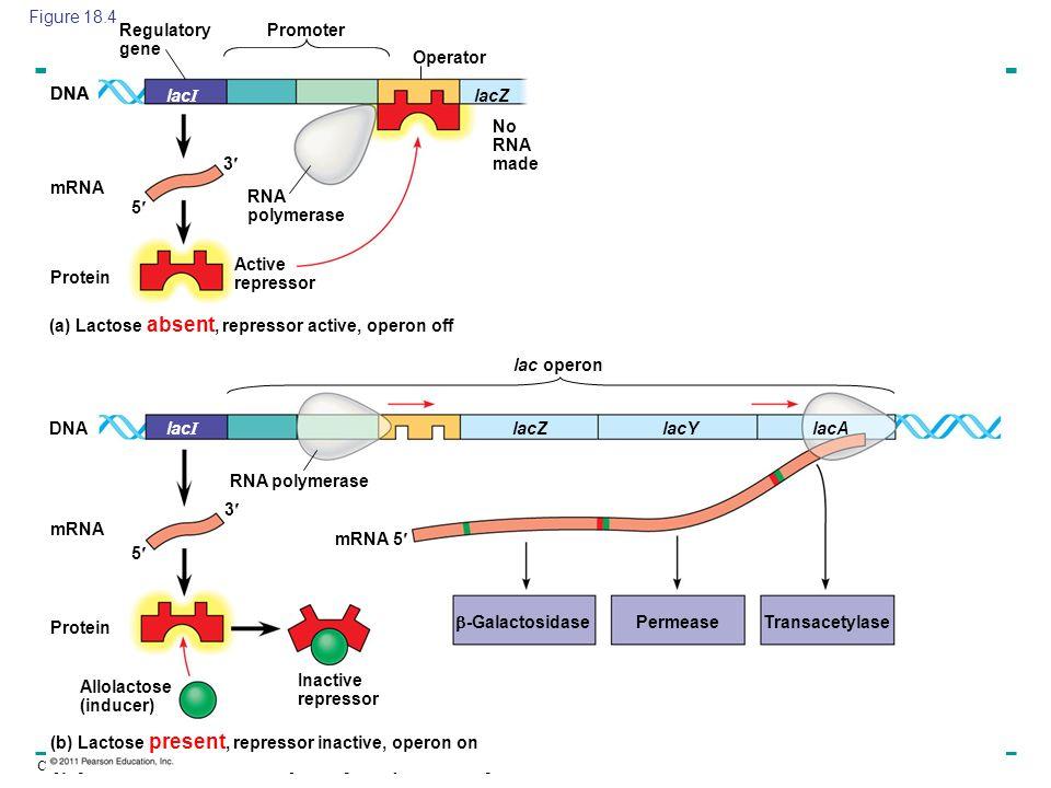 Figure 18.4 Regulatory gene. Promoter. Operator. DNA. DNA. lacI. lacZ. No RNA made. 3 mRNA.