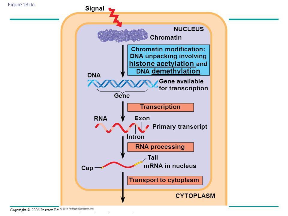 Gene available for transcription
