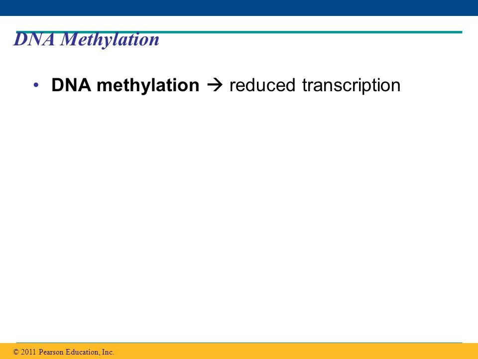DNA Methylation DNA methylation  reduced transcription