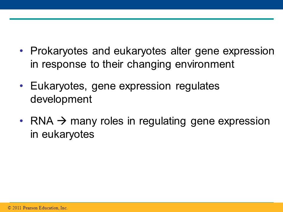 Eukaryotes, gene expression regulates development