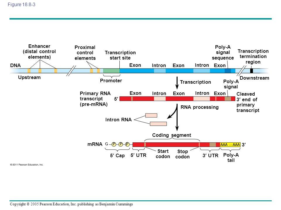 Enhancer (distal control elements) Proximal control elements