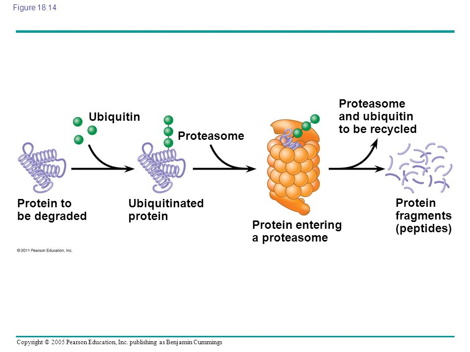 Proteasome and ubiquitin to be recycled Ubiquitin
