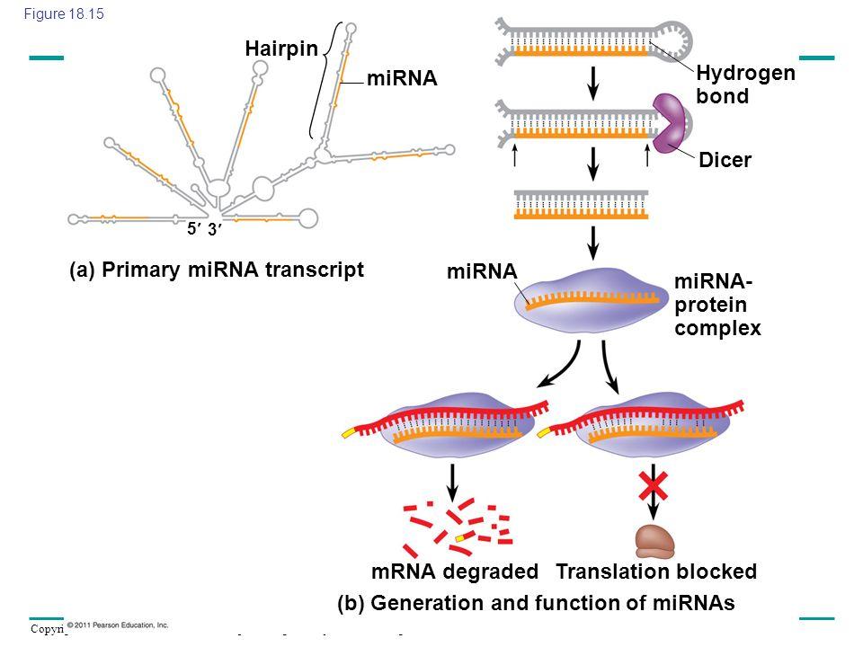 (a) Primary miRNA transcript miRNA miRNA- protein complex