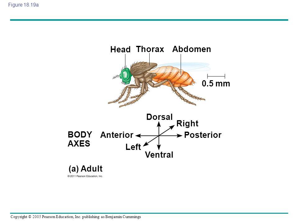 Head Thorax Abdomen 0.5 mm Dorsal Right BODY AXES Anterior Posterior