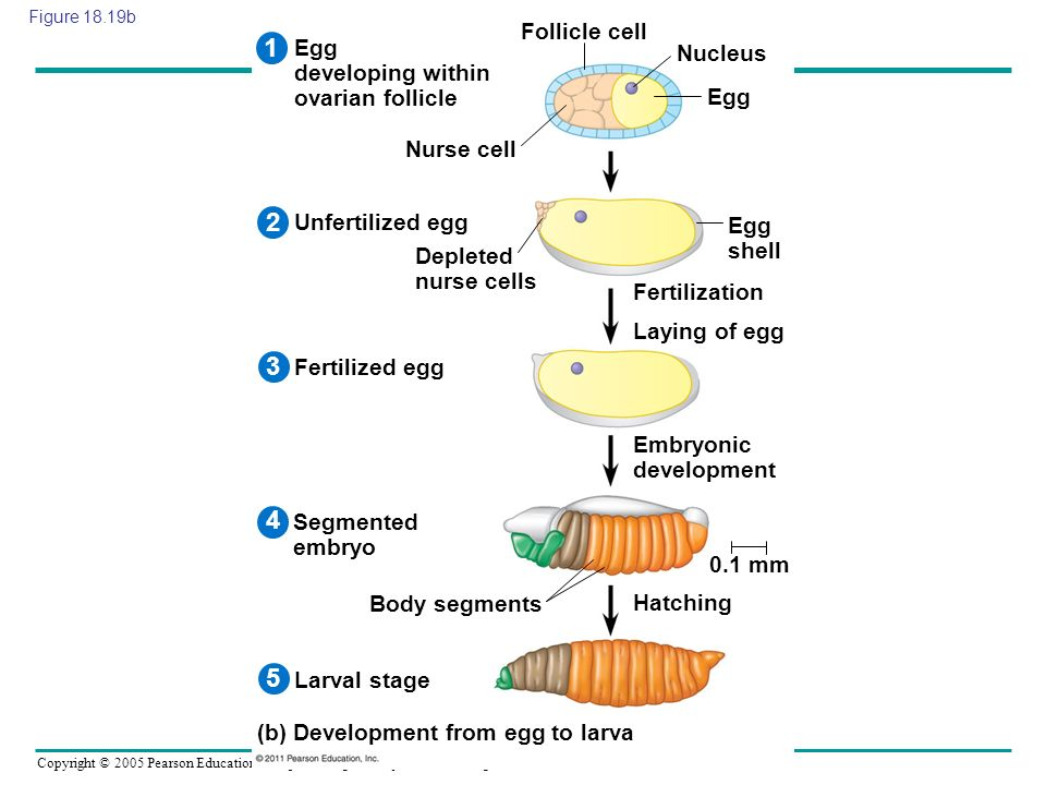 1 2 3 4 5 Follicle cell Egg developing within ovarian follicle Nucleus