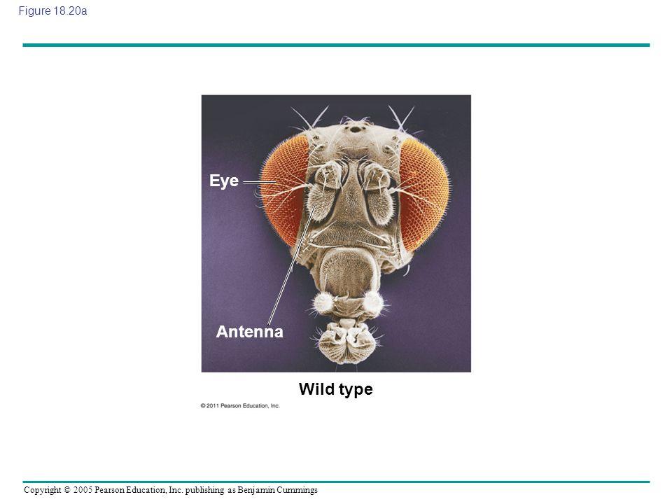 Eye Antenna Wild type Figure 18.20a