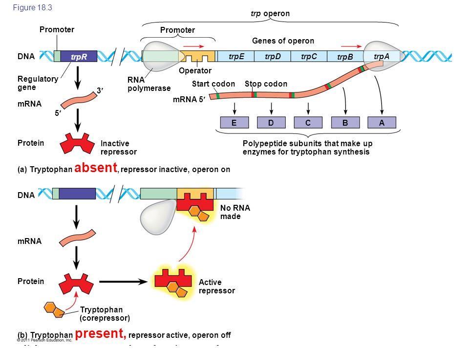 Figure 18.3 trp operon. Promoter. Promoter. Genes of operon. DNA. trpR. trpE. trpD. trpC. trpB.