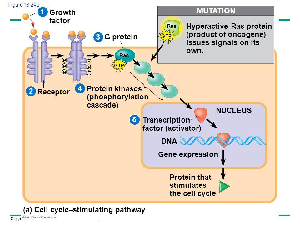 Protein kinases (phosphorylation cascade) Receptor