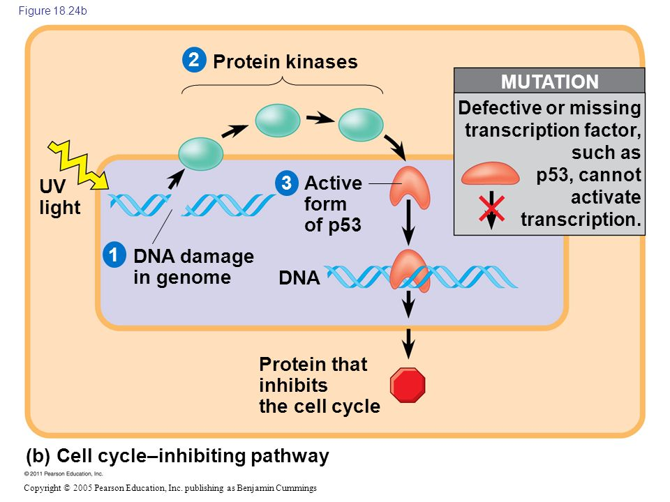 Protein that inhibits the cell cycle