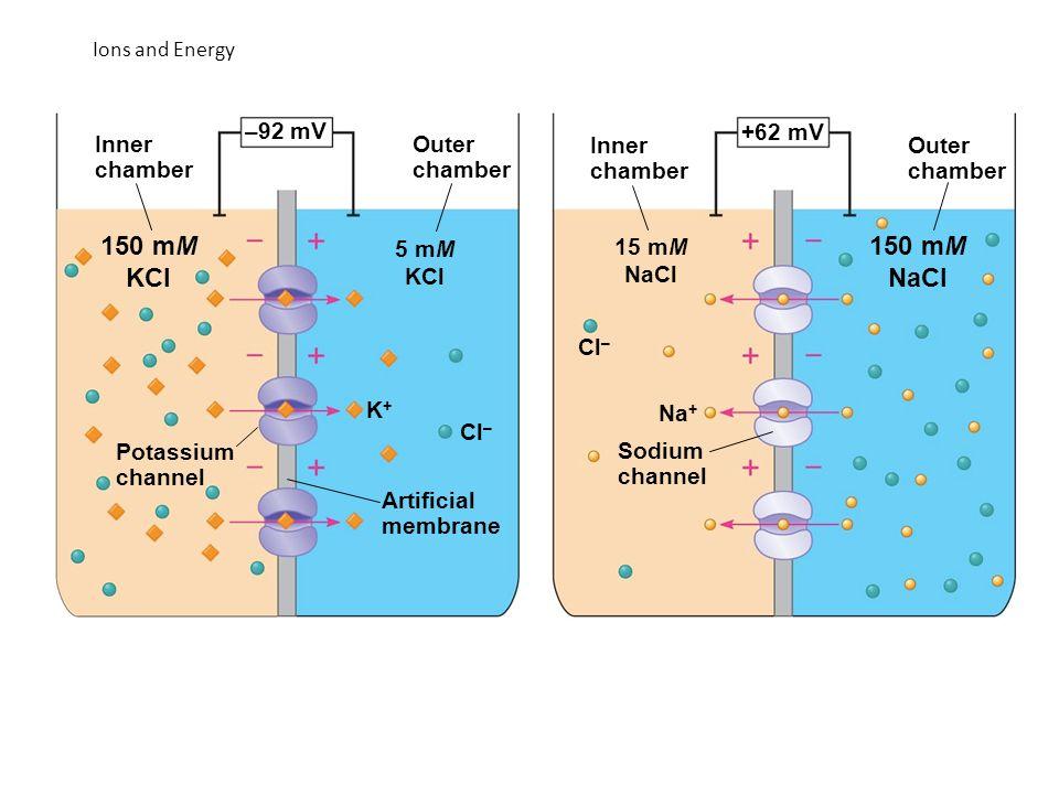 150 mM KCl 150 mM NaCl –92 mV +62 mV Inner chamber Outer chamber Inner