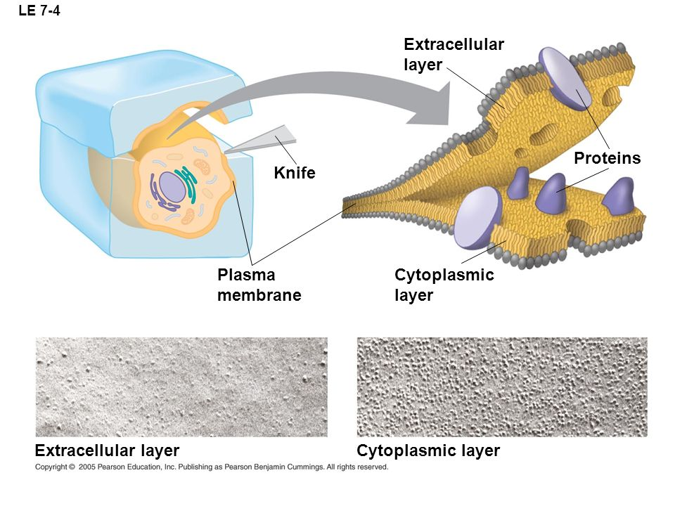 Extracellular layer Proteins Knife Plasma membrane Cytoplasmic layer