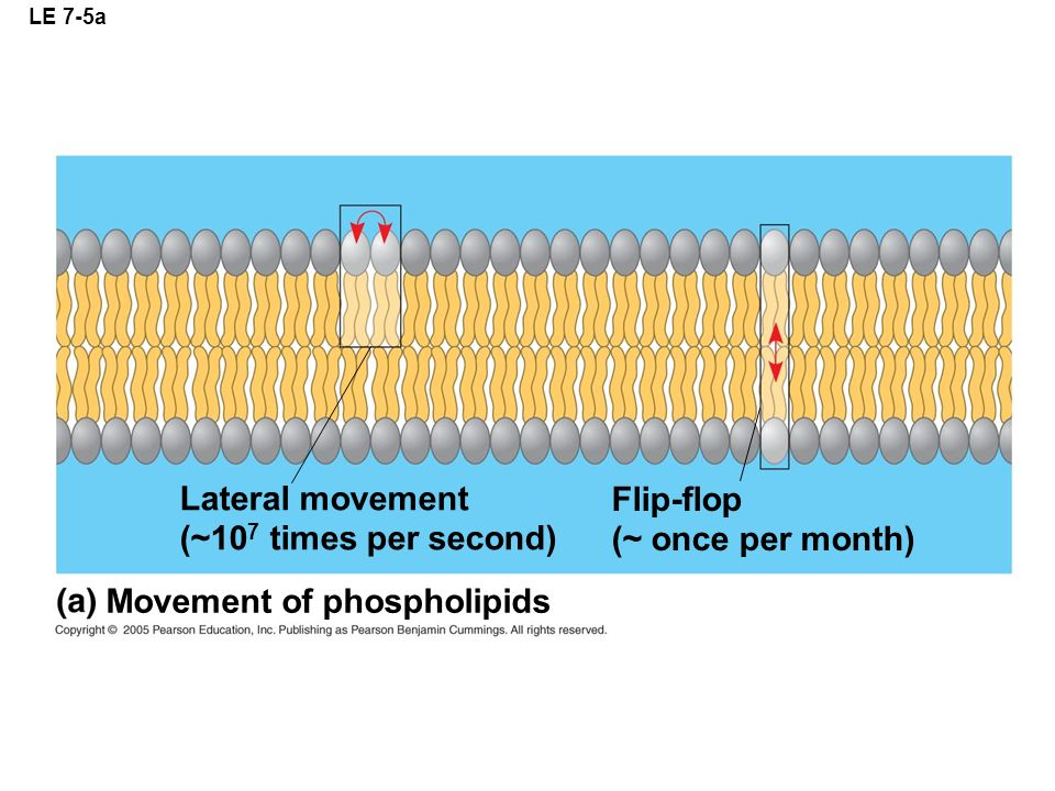 Movement of phospholipids