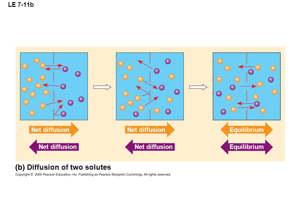 Diffusion of two solutes