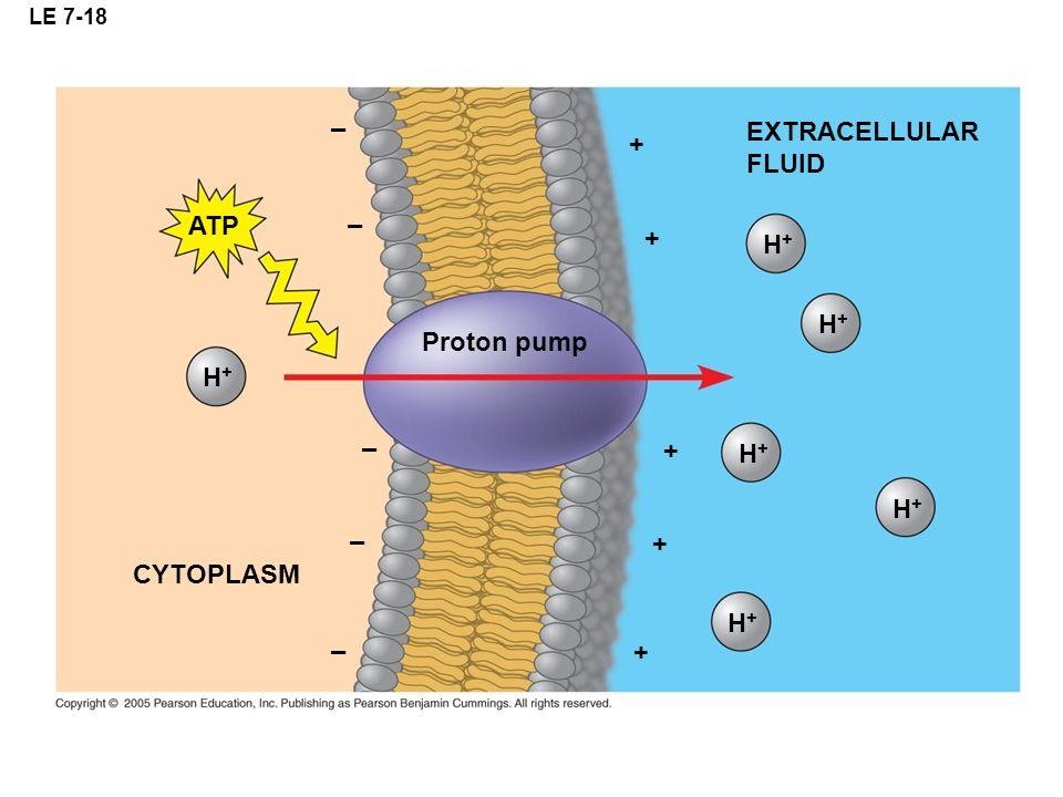 – EXTRACELLULAR + FLUID ATP – + H+ H+ Proton pump H+ – + H+ H+ – +