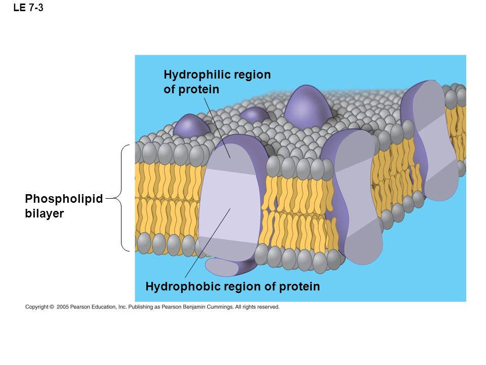 Hydrophobic region of protein