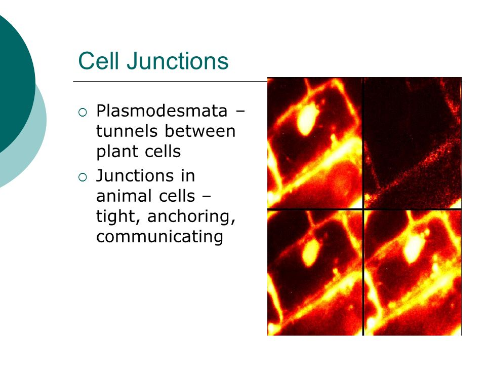 Cell Junctions Plasmodesmata – tunnels between plant cells