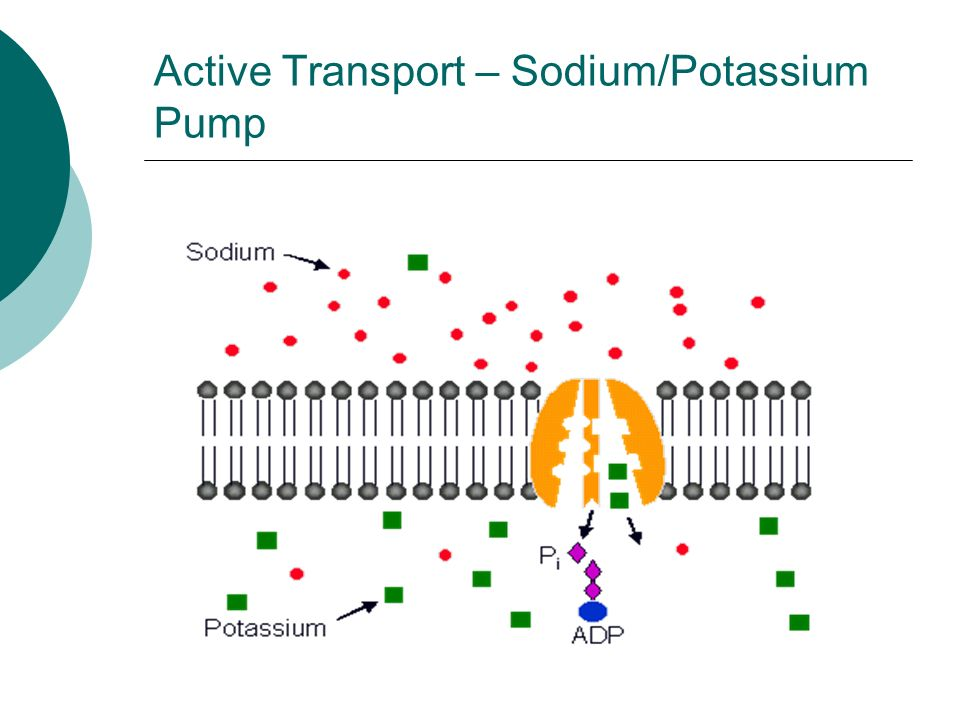 Active Transport – Sodium/Potassium Pump