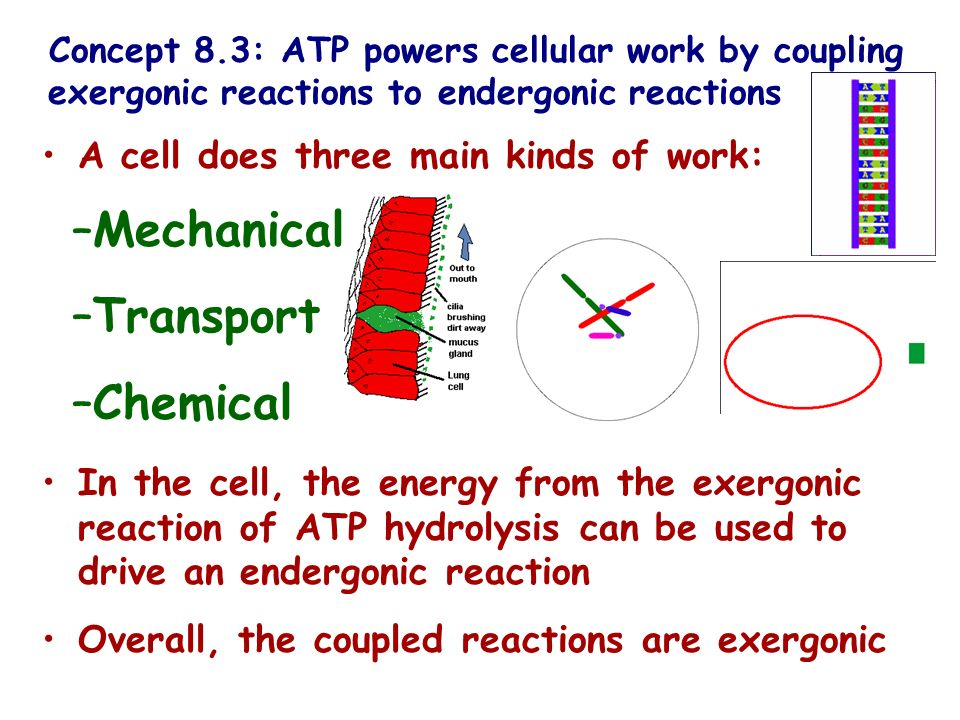 Mechanical Transport Chemical A cell does three main kinds of work: