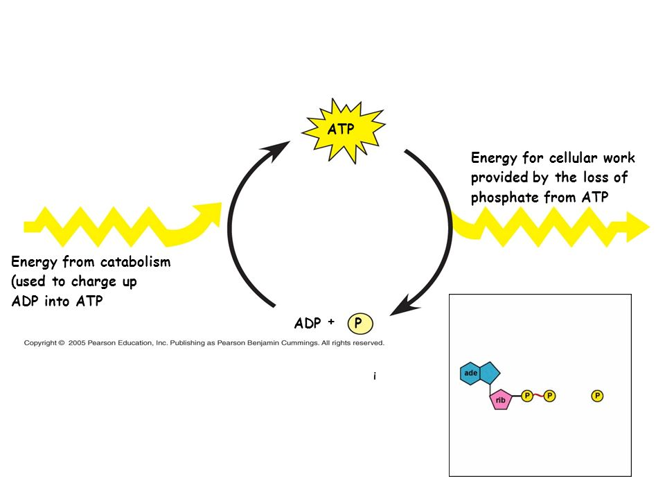 Energy for cellular work provided by the loss of phosphate from ATP