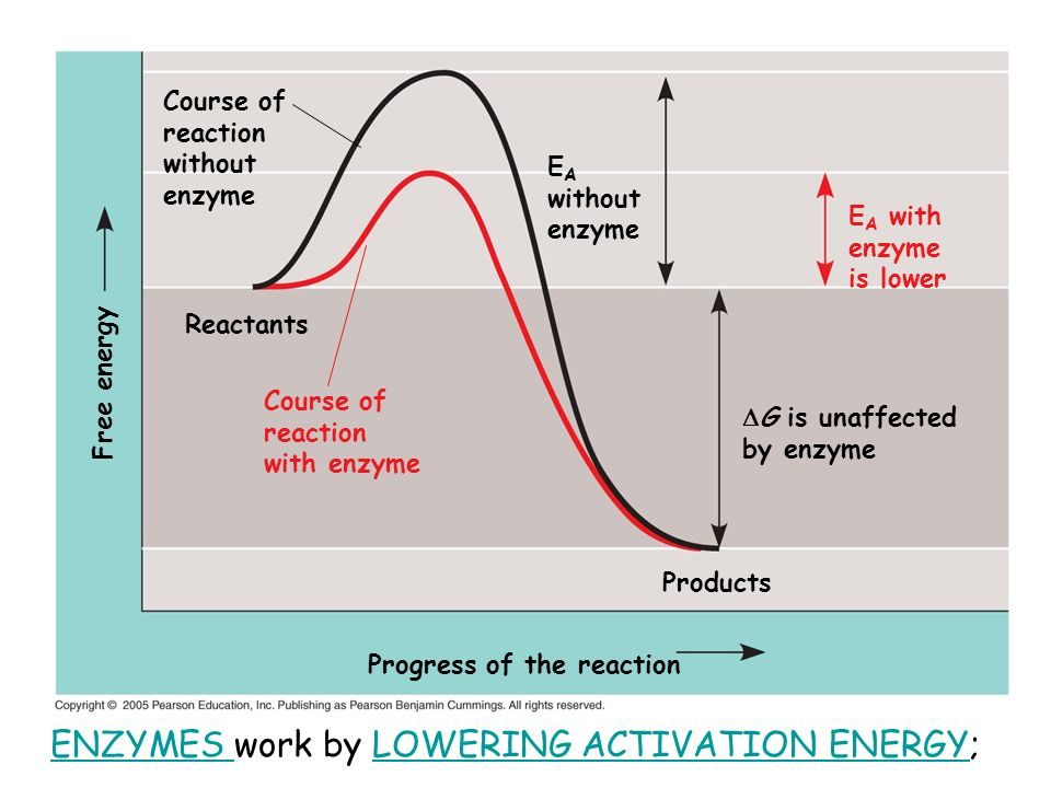 ENZYMES work by LOWERING ACTIVATION ENERGY;