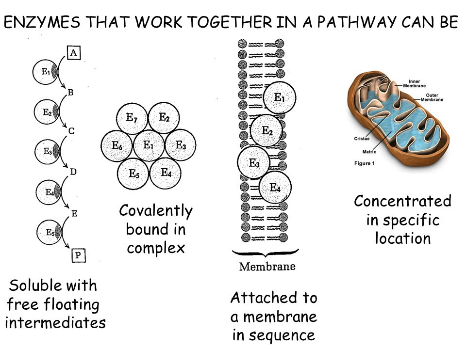 ENZYMES THAT WORK TOGETHER IN A PATHWAY CAN BE