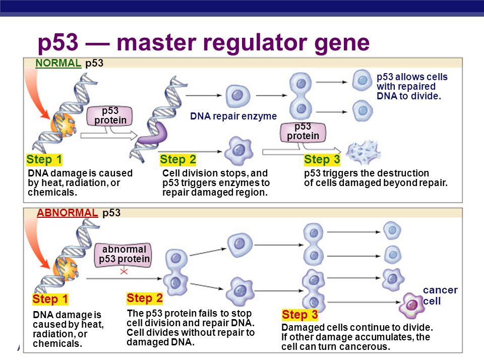 p53 — master regulator gene