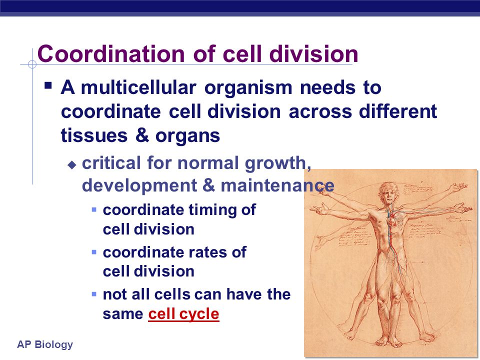 Coordination of cell division