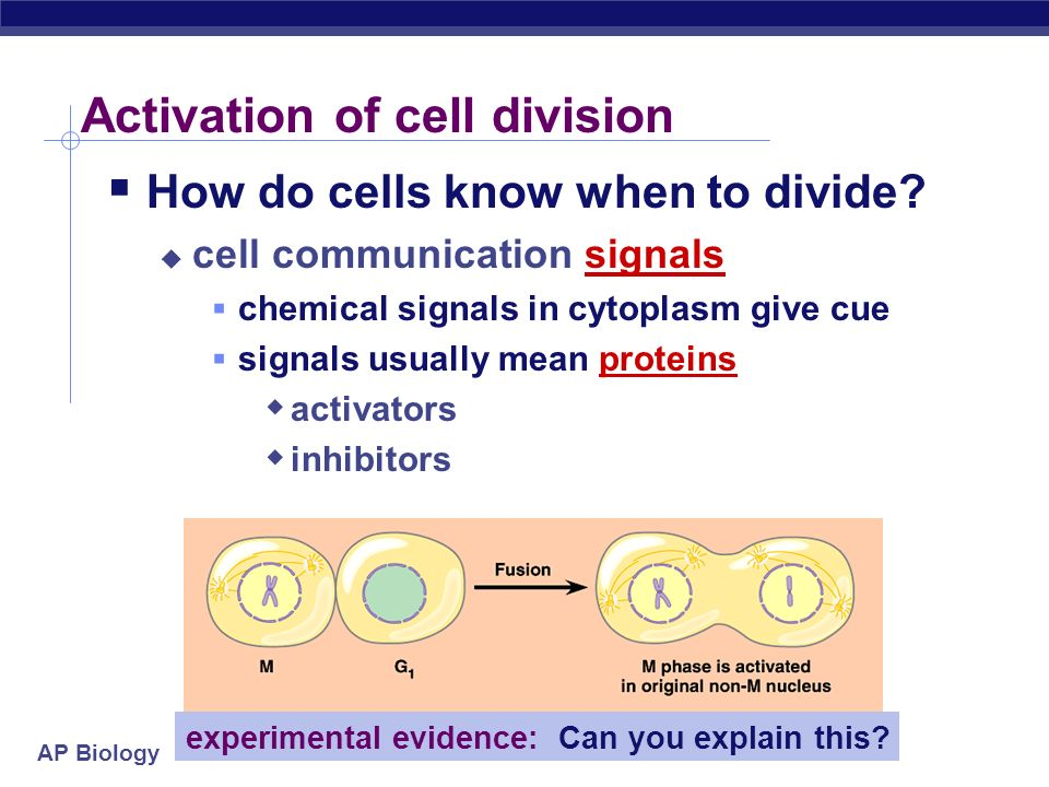 Activation of cell division