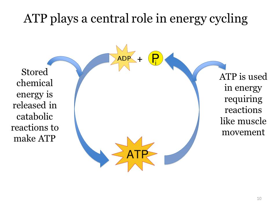ATP plays a central role in energy cycling
