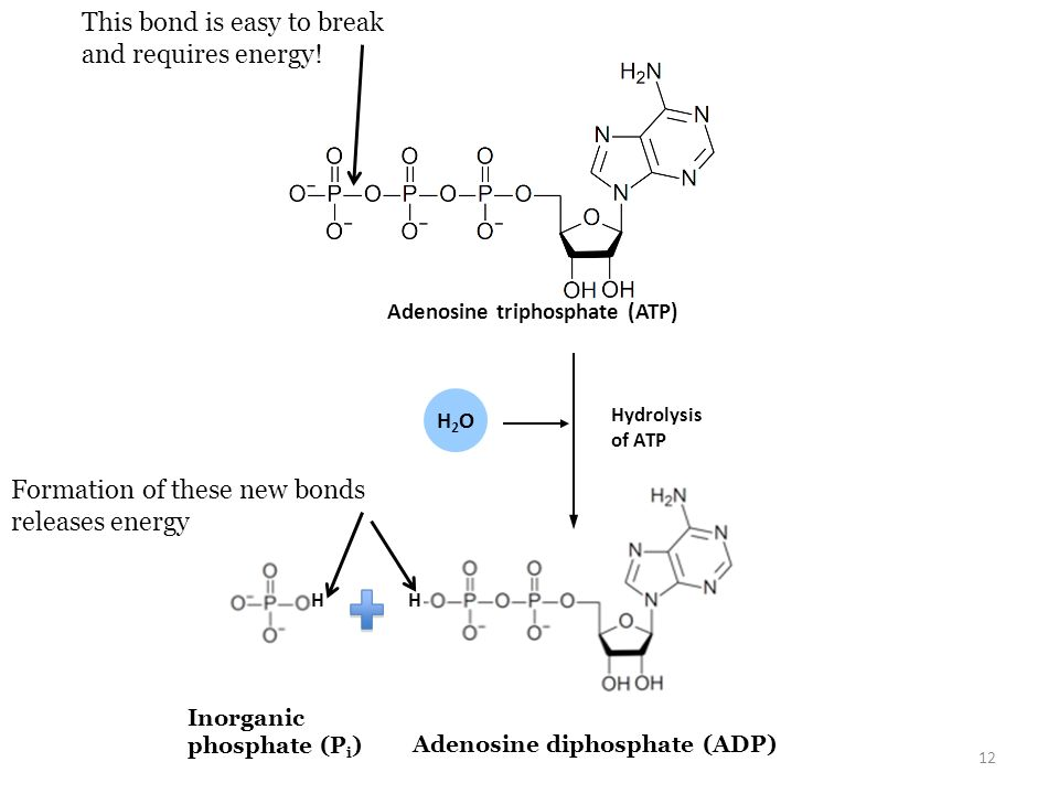 Adenosine triphosphate (ATP) Adenosine diphosphate (ADP)